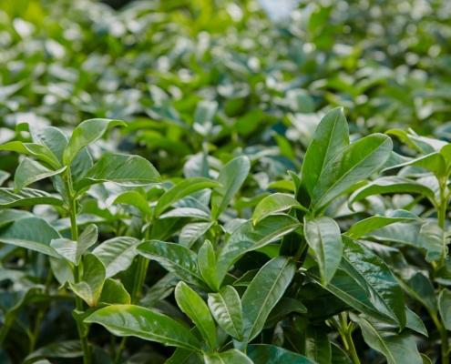 Heckenpflanzen Kirschlorbeer