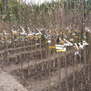 Wurzelnackte Obstbäume , besonders viele Sorten